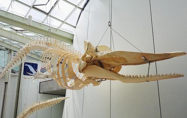 Uno scheletro di balena nell'Ozeaneum di Stralsund