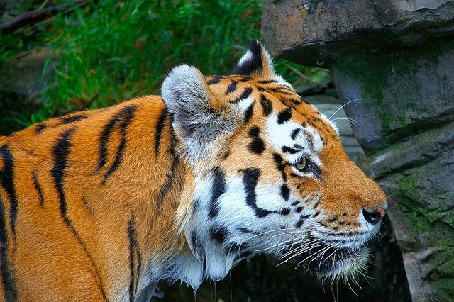Tigre dello Zoo di Wuppertal